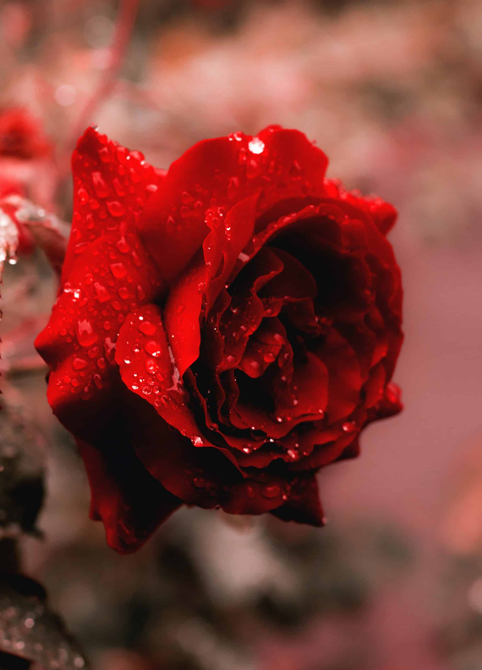 A red rose covered in dew.