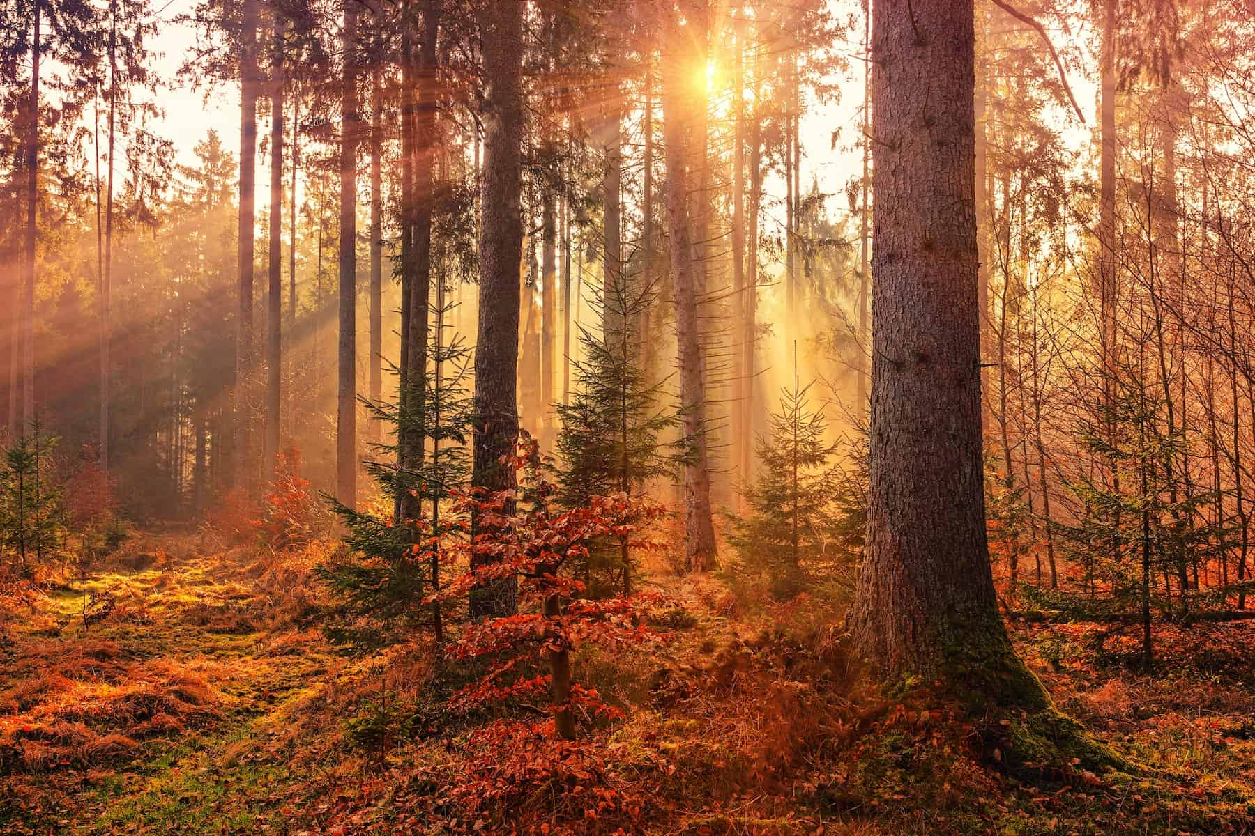 A low sun appears between red-leaved trees in a forest, flooding the scene with golden light. Red leaves cover the ground, and a few small evergreens stand in the foreground.
