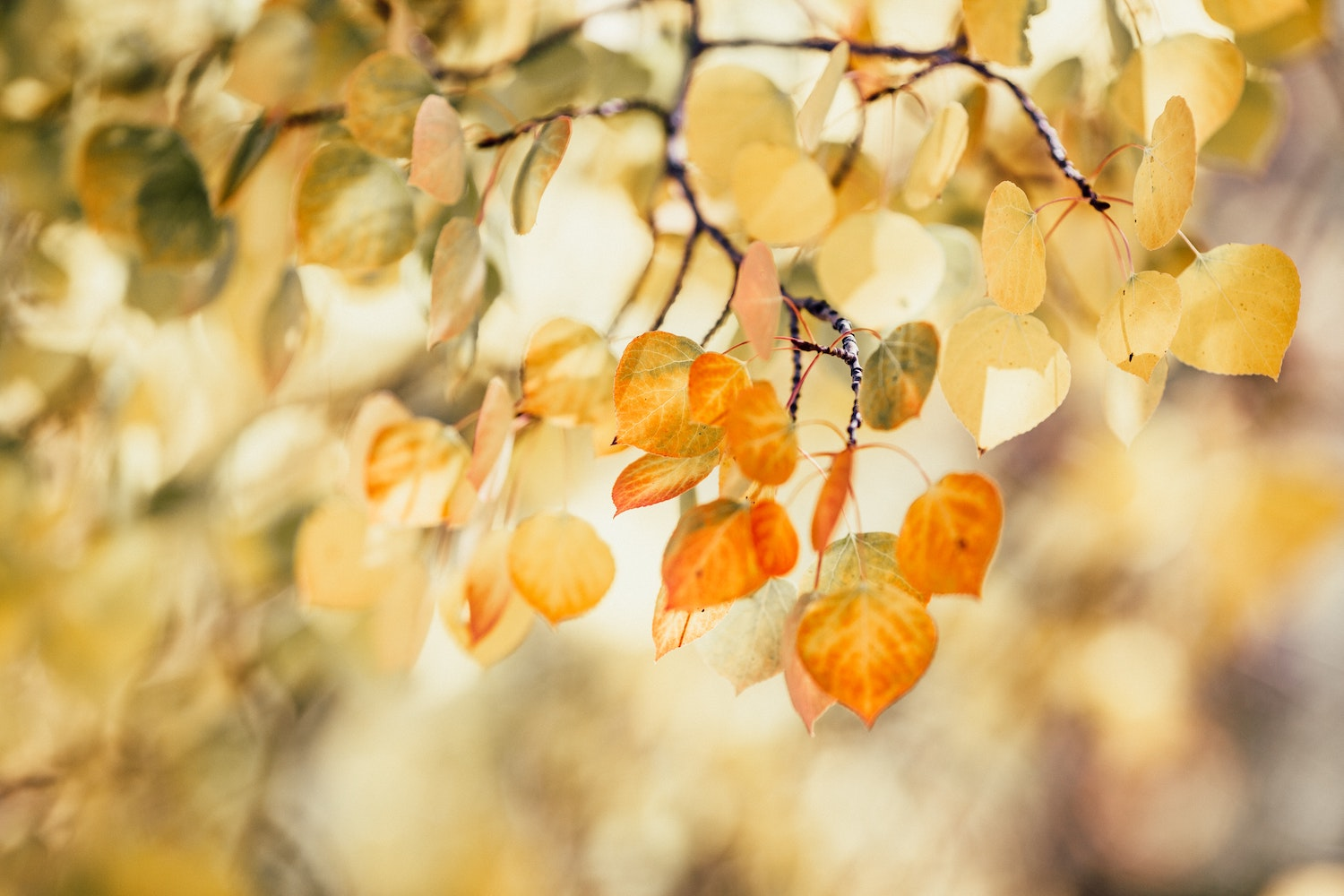 Orange and green leaves on a tree, turned semi-transparent by sunlight.